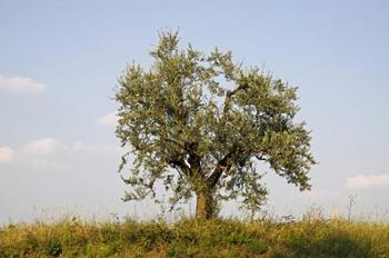 7 деревьев, возраст которых превысил 2 000 лет