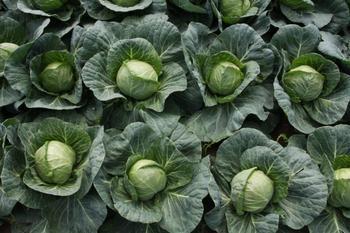 Сорта капусты для борща и для засола