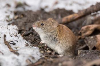 Как защитить луковичные от мышей