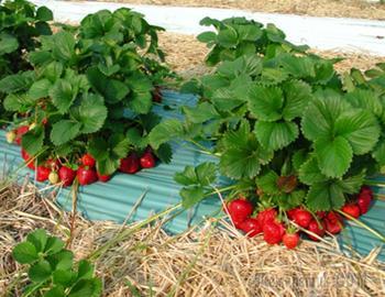 Удобрение для клубники весной