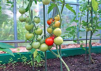 Проведение процедуры подкормки помидоров в теплице