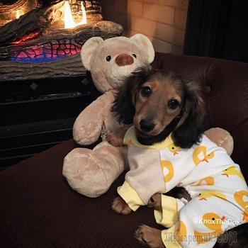 Смешные и очаровательные собаки в пижамках