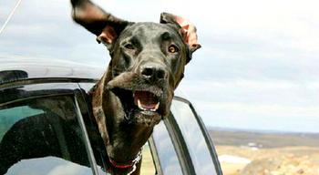 Только ветер, только счастье впереди: 29 собак, которым в лицо бьет ветер