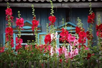 Штокроза: особенности выращивания из семян, правила посадки и ухода