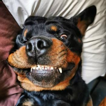На самом деле ротвейлеры -милые и добрые собаки