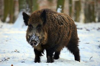 Выбираем самый интересный способ охоты на кабана зимой