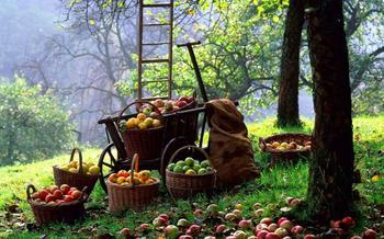 Как правильно собрать и сохранить урожай яблок?