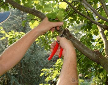Как обрезать плодовые деревья летом – 5 простых и эффективных приемов