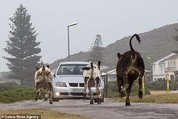 Ар«му-уу»геддон: бунт коров в Южной Африке