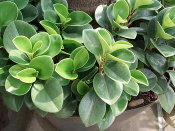 Пеперомия магнолиелистная – красивая зелень для комнатного сада