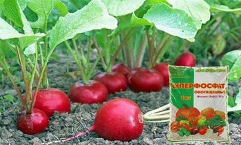 Чем лучше подкормить редиску в открытом грунте и теплице, какие удобрения использовать
