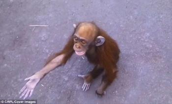 Маленькая шимпанзе сумел попросить о помощи людей