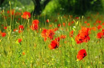 Как сделать мавританский газон или цветущую лужайку без магазинных смесей