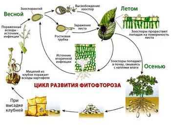 Фитофтороз картофеля — причины, симптомы, методы лечения