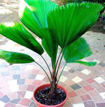 Пальма ликуала
