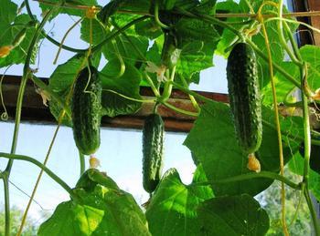 Правила выращивания огурцов на балконе