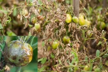Самые распространенные болезни томатов в огородах