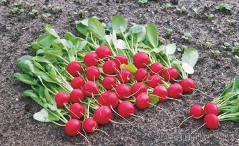 Как получить первый урожай редиса уже в апреле