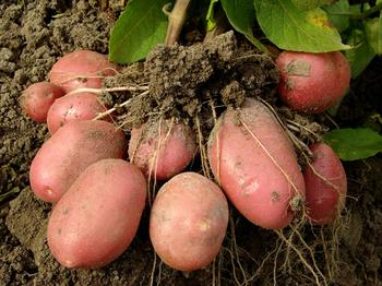 Как удобрить землю под картофель весной?