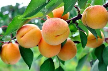 За лекарством – в сад: новый взгляд на привычные плодовые культуры