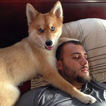 Чертёнок-лисёнок. Помски: необычная собака-лиса