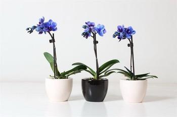 Особенности ухода за цветущей орхидеей в домашних условиях