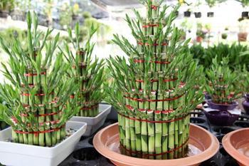 Как ухаживать за бамбуком счастья или драценой сандера