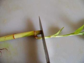 Как правильно выращивать комнатный бамбук из отростка