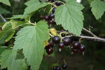 Почему нужно сушить на зиму листья чёрной смородины