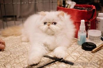 30 безумно очаровательных кошек с норвежской выставки пушистых красавцев