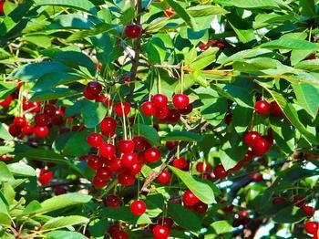 Болезни вишни: описание с фотографиями и способы лечения