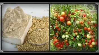 Подкормка дрожжами томатов — как увеличить урожай