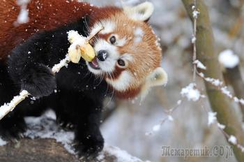 Необычайно фотогеничные красные панды