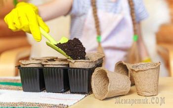 Как вырастить рассаду гелиотропа: пошаговая инструкция с фото