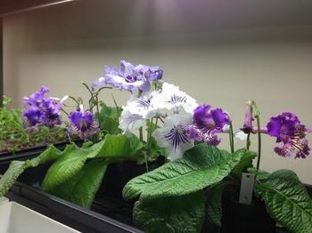 Стрептокарпус: фото, размножение, уход и выращивание