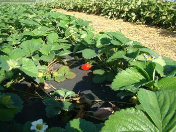 Как защитить клубнику от сорняков