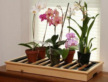 Орхидея фаленопсис — цветок бабочка нуждается в особом уходе