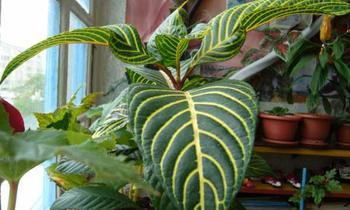 Санхеция — выращивание и уход