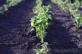 Прополка картофеля в огороде. Что нужно знать