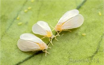 Вредное насекомое - белокрылка: как бороться и защитить от нее растения на ваших участках
