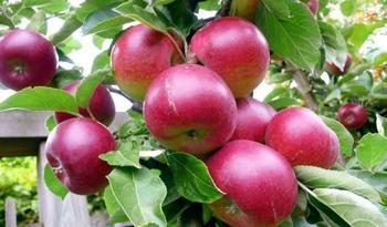 Лучшие 10 сортов яблонь для средней полосы. Часть 1