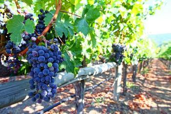 Создаем шпалеру для винограда своими руками