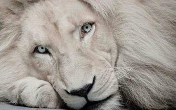 Белый лев – легенда африканских племен
