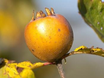 Все тонкости выращивания мушмулы из косточки: как ухаживать за деревцем