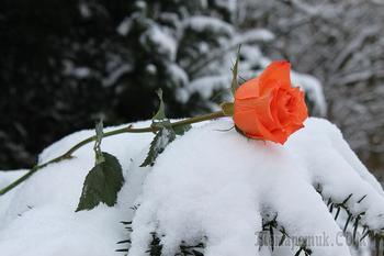 Розы в сугробе