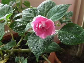 Цветок Бальзамин комнатный: описание, виды, фото, посадка и уход в домашних условиях