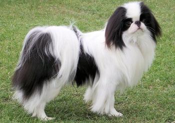 Хин — крутая собака из Японии