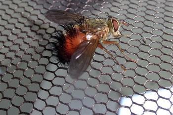 Кошмары животного царства: о непростой жизни мухи тахины