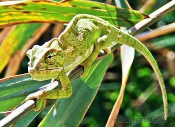 25 интересных фактов о хамелеонах, которые вы не знали