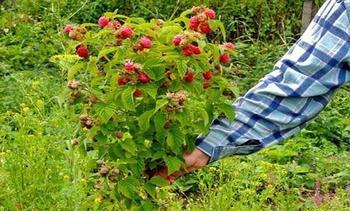 Посадка малинового дерева или штамбовой малины, уход и размножение